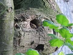 Squirrel Hidey Hole (corrallmccormack) Tags: kew squirel