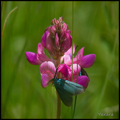 You're so squared! (Yaxara) Tags: macro squared flower insects violet alpineflower france outdoor pink plant pentax