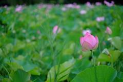 Pinky (Minami45) Tags: pink japan lotus  fujifilm    xpro1