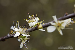Hawthorn (DMeadows) Tags: park flower macro nature closeup focus branch petal stamen bud eglintonpark irvine hawthorn ayrshire davidmeadows dmeadows davidameadows dameadows yahoo:yourpictures=yourbestphotoof2012