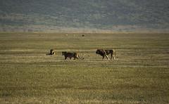 3 Lions (Jack Zalium) Tags: tanzania ngorongoro crater lions ngorongorocrater plain arusha lionsmating tza nellumazilu
