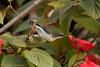IMG_6810L4 (Sharad Medhavi) Tags: bird canonef100400mmf4556lisusm canoneod50d birdsandbeesoflakeshorehomes