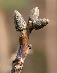 Walnuss_Knospe_DSC_6058 (schaefer_rudolf) Tags: natur baum walnuss nuss juglandaceae laubbaum walnussbaum baumnuss regia walnussgewchse echte walnuss juglans