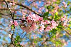 Cherry Blossoms in a spring day (Hopeisland) Tags: