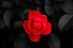 Blood Red (John_de_Souza) Tags: red flower nikkor182003556 nikond7000 johndesouza bloodredjohndesouza