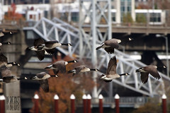 Its The Weekend! Part II (Ian Sane) Tags: park bridge two canada water tom oregon river portland ian photography flying geese downtown waterfront weekend wildlife flock images front part governor ii willamette burnside sane mc