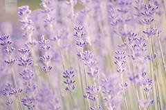 lavender (desomnis) Tags: plant flower green nature beautiful canon eos 350d austria österreich flora dof purple bokeh smooth violet lavender canoneos350d eos350d silky lamiaceae smoothandsilky desomnis
