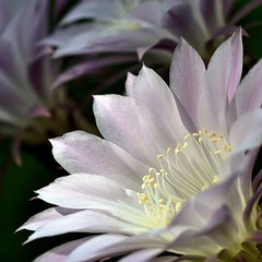 Cactus Flowers (photobenedict) Tags: cactus flower macro beautiful garden nikon bokeh northcarolina raleigh loveit musictomyeyes aphoto aclass finegold avpa flickrbronze flickraward betterthangood goldstaraward spiritofphotography vanagram artofimages macroquality harmonyawards bestcapturesaoi flickrsgottalent mygearandme