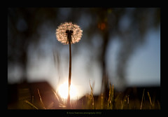 sunset (stella-mia) Tags: sunset sun flower norway backlight dandelion lvetann 2470mm hightlight canon5dmkii annakrmcke krmcke