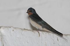 Hirondelle rustique (belgobreizh) Tags: bruxelles swallow barnswallow juillet oiseau hirondelle hirundorustica 2012 anderlecht rondine boerenzwaluw hirondellerustique rondinecomune