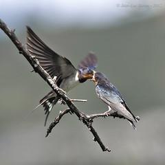Barn Swallow (Hirundo rustica) (Jeluba) Tags: bird nature canon square inflight feeding wildlife aves barnswallow ornithology birdwatching oiseau hirundorustica carré rauchschwalbe hirondellerustique ruby10 ruby15 ruby20