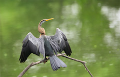 Oriental Darter (Anhinga melanogaster) (Rajiv Lather) Tags: camera india nature birds fauna canon nationalpark bokeh wildlife indian ngc birding july monsoon birders birdwatching rajasthan birdsanctuary bharatpur anhingamelanogaster snakebird anhingidae spreadwings specanimal orientaldarter avianexcellence
