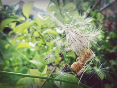 make a wish... (tracysuzanne21) Tags: life flowers white green nature closeup photography soft samsung fluff dandelion wish delicate gentle wishing entagled es70
