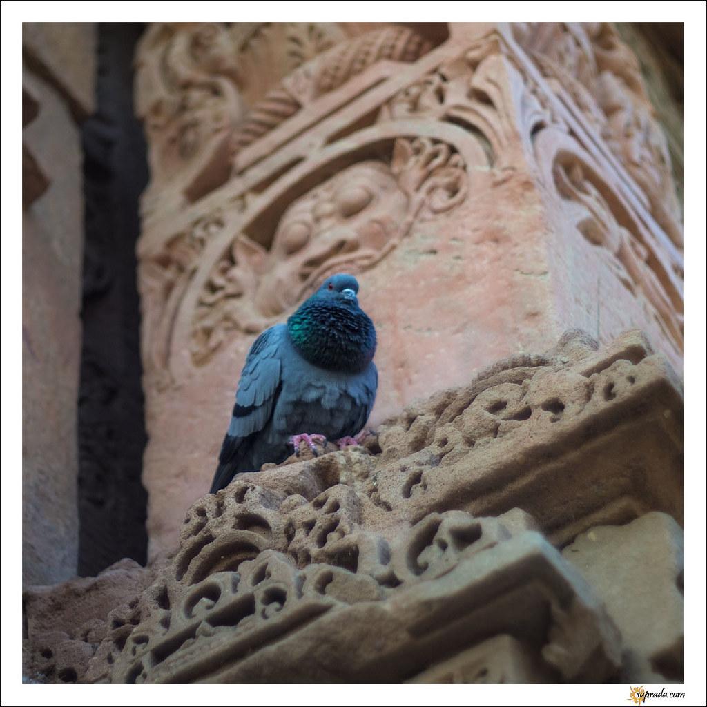 Pigeon and Sun