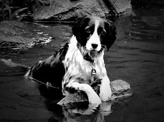 A man's best friend (C.M_Photography) Tags: bw dog lake reflection cute water collie rocks pretty backandwhite wallhanger