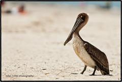 Beaching It (Titanfan) Tags: ocean bird beach nikon florida pelican d200 stgeorgeisland mikenoblephotography 300mmf28gvrii