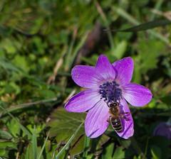 (katunchik) Tags: plant nature flora natur bulgaria anemone priroda bulgarie anlage coronaria  bulgarien bulharsko primorsko