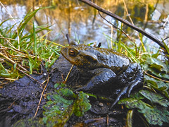 Common Toad, Bufo Bufo, bath, Ian wADE (Disorganised Photographer - Ian Wade - Travel, Wil) Tags: water pond toad buff spawning common bufo 2014