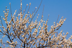 Ome-4334 (Sarah Sutter) Tags: flowers nature japan tokyo spring blossoms ome hanami yoshino plumblossoms floweringtrees baigo yoshinobaigo