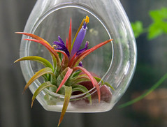 Airplant Surprise! (jessicalynn0102) Tags: flower nature colors yellow purple bright tillandsia uncool ionantha teardrop airplant terrarium uncool2 uncool3 3uncool