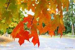 Autumn Colors (Gilda Axelrod Photography) Tags: autumn autumnfoliage newyork tree fall colors leaves colorful longisland fallfoliage kingspark kingsparkpsychiatriccenter nissequogueriverstatepark gildaaxelrod