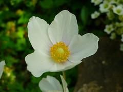 Anemone sylvestris (Jrg Paul Kaspari) Tags: white flower fleur spring mai anemone blte garten trier frhling weise 2016 windrschen weis anemonesylvestris groses waldwindrschen