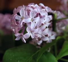 A Beautiful Goodbye (Kooklamou - MA., USA) Tags: beautiful goodbye lilacs waning