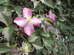 148:365, 2016, Pink clematis IMG_8298 (tomylees) Tags: project may 365 friday essex 27th braintree 2016 fowlersfarm