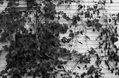 Overgrowth (Becky Fisco) Tags: portrait blackandwhite nature portfolio