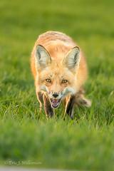 Red Fox Stare Down (ShutterTraxs) Tags: nature animal mammal spring wildlife iowa fox redfox 2016