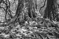 "The ""Hobbit Tree"" Avebury (Le monde d'aujourd'hui) Tags: tree roots wiltshire avebury thehobbit tolkein hobbittree"
