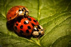 Ladybug (d_r.photography) Tags: makro insekt marienkfer