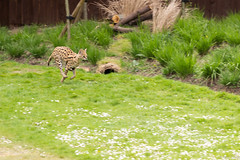 After a rabbit (btysoe) Tags: cat caracal zsllondonzoo