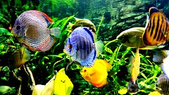 Beautiful fishes.  (Szidii) Tags: fish green nature colors yellow garden rainbow colorful hungary budapest stripy