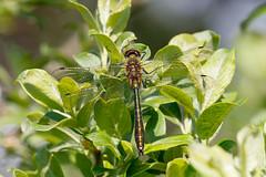Downy emerald m (Steve Balcombe) Tags: uk dragonfly somerset aenea downy emerald mendips odonata anisoptera mendiphills cordulia