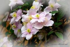 Clematis. (Dariusz A. - Poland) Tags: plant flower garden cherry ed nikon blossom outdoor pastel clematis bouquet mm nikkor vr afs dx 18105 f3556 d7100