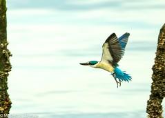 Collared Kingfisher in flight (Modestus Lorence) Tags: canon singapore ngc naturereserve kingfisher natureitsbest fantasticnature 1dx 500mmf4isii