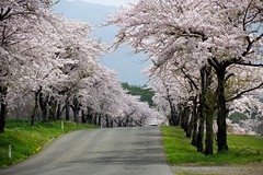Spring road (tez-guitar) Tags: road mountain flower cherry spring pentax blossoms petal bloom cherryblossom sakura pentaxart