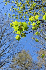 First past the post (lady.bracknell) Tags: greenleaves green leaves liverpool sycamore seftonpark barebranches sycamoreleaves