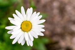 Small Flower (pillarsoflight) Tags: beauty oregon 35mm portland prime aperture nikon adobe pdx 18 pnw lightroom d3300
