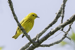 yellow warbler (material guy) Tags: massachusetts woburn yellowwarbler hornpond mondaybirding