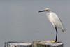 Snowy Egret on the Dock (lisanelson2011) Tags: galveston heron hermitcrab port fisherman pelican cheryl cormorant tern egret kem shrimpboats sanderling willet ruddyturnstone avocet redwingblackbird 2016 laughinggull reddishegret