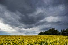 Yellow field (PeterSundberg66 former PeterSundberg65) Tags: sky nature yellow clouds forrest sweden dramatic falkping