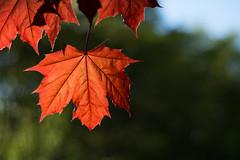 Maple (Clif Budden) Tags: nature leaves newfoundland outdoors leaf maple stjohns sunny environment nl redmaple bowringpark 2016