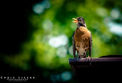Watchful Parent (Chris Liszak Photography) Tags: color colour bird nature robin birds wow photo sharp stunning nikond7100 chrisliszakphotography
