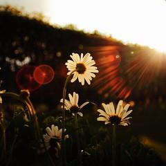 Grasps for the last rays of sun (KTv) Tags: sol backlight daisies canon sunbeams motljus prstkragar ef20mm
