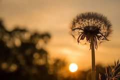 Dandelion at sunset (Infomastern) Tags: flower dandelion blomma maskros geolocation geocity camera:make=canon exif:make=canon geocountry geostate exif:lens=efs18200mmf3556is exif:focallength=70mm exif:aperture=10 exif:isospeed=100 camera:model=canoneos760d exif:model=canoneos760d
