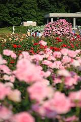 20160522-D7-DS7_2586.jpg (d3_plus) Tags: park street sky plant flower nature japan garden walking drive tokyo nikon scenery bokeh fine daily bloom   nikkor   kanagawa   dailyphoto touring     thesedays  fineday  jindaiji          d700 kanagawapref nikond700
