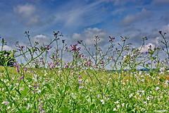 Wildblumen (garzer06) Tags: deutschland natur himmel wolken blumen grn blau rgen vorpommern naturephotography mecklenburgvorpommern weis blumenbeet naturfotografie inselrgen wolkenhimmel landschaftsbild nistelitz