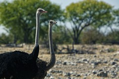 Ostrich (alisdair jones) Tags: africa park birds ostrich namibia etosha ef70200mmf28lisusm2xiii